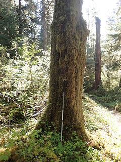 SF Hoh - Snider-Jackson trail