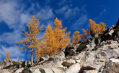 larches against the sky