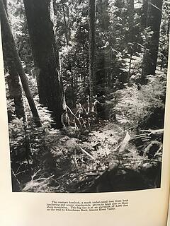 Western Hemlock photo Kloochman Rock Trail Queets Valley 1938