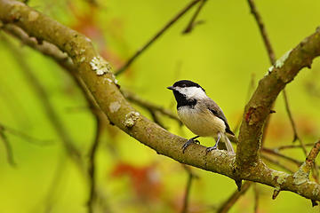 6- Black-capped chickadee