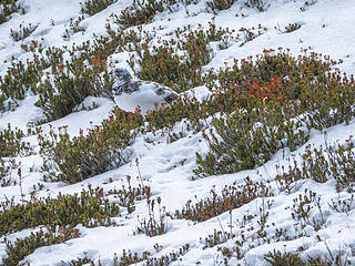 Ptarmigan in Autumn plumage, thinking of larches, Spray Park (Oct)