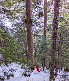 Old growth hemlocks above Granite Lakes