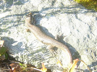 Lizard sunning - this was on the talus field 600' or so below the top.