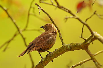 2- Shiny cowbird (female)