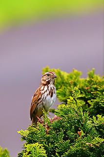 1- Sparrow