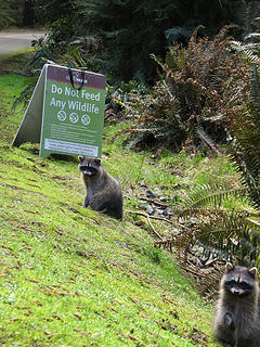 They were begging in front of the sign...please people DON'T feed Wild Animals! Around the next corner was a whole bag of chips and another racoon having a nacho bar complete with coke!