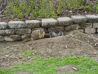 There are many marmots and their young living around the parking area. They seem unfazed by the people coming and going.