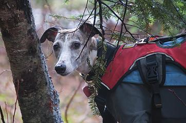 DSE_4223 - Mountain whippet