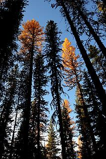 Larches catching light above the shadows