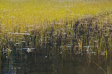 DSE_4244 - Reed grass at Swan Lake