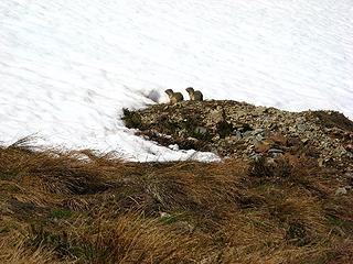 Synchronized ground squirrels sitting