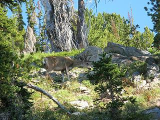 Deer amid light brush on approach to Tupshin