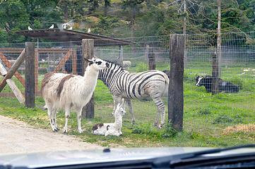 Baby llama and a zebra