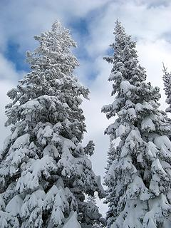 Tall snowy trees