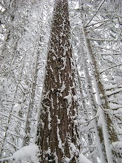 Snow patterns on the trunks