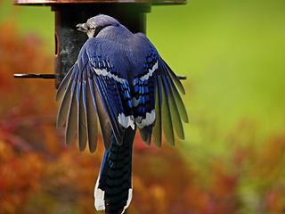 23- Blue Jay