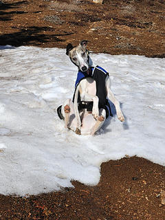 Yes, ever more snow rolling whippets