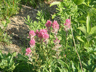 Pink Paintbrush on Crystal Peak trail.