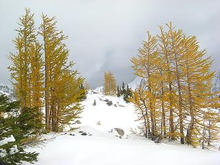Stands of Larches