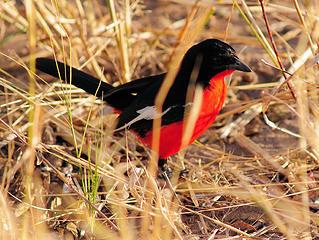 Red-breasted shrike, Hwange National Park, Zimbabwe