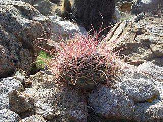 Small barrel cactus w/long spines