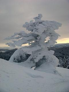 Rimed tree at dusk