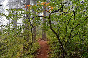 Maple over the trail in the clouds. Cape Horn Trail, WA