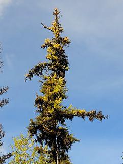 Larch & lichen combo