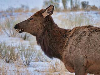 Elk closeup eating copy