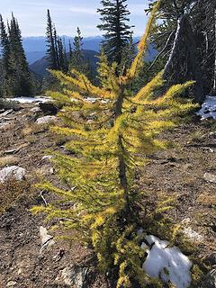 The Larch are almost in full bloom!