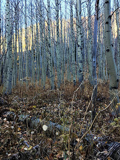 Timothy Meadows are being taken over by quaking aspen