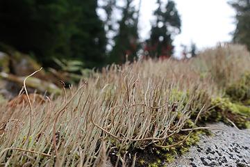 Lilliputian forest