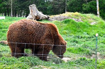 Browsing bear