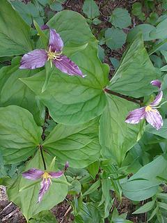 Triple purple trillium