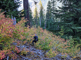 At the bottom of the talus slope we had to bushwhack through the vine maple. Below the vine maple there is a short section of scrub hemlocks which are annoying.
