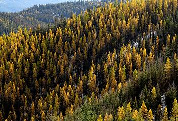 Fields of Larches