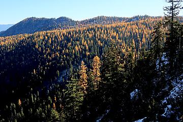 lots of larches on the far side of the ridge