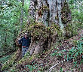 """12' 6"""" diameter cedar"""