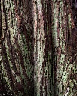 Cedar Trunk (1 of 1)