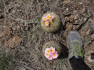 Foot for comparison. There are several varieties of hedgehog cactus. These are called Simpson's hedgehog. Flower color can vary.