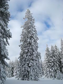 My favorite big snowy tree