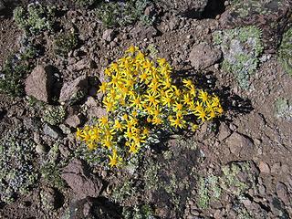 Flower in the alpine