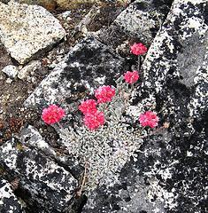 Flowers amid the rocks on Devore