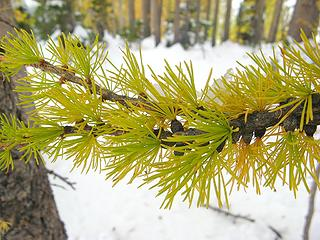 Larch branch with ice and snow
