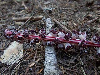 Fallen Candystick
