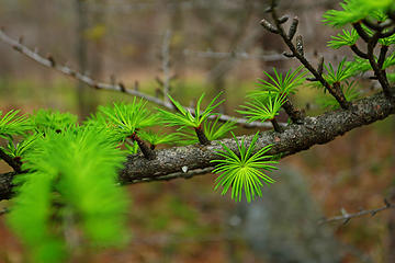 15- Fresh new tamarack needles