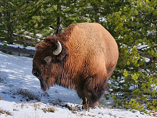Bison with no legs copy