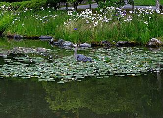 Heron posing in the lilies