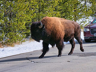 Bison in the road 2
