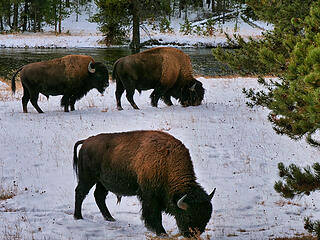Bison by the road